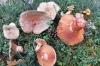 Lactarius deliciosus recogidos en montes sorianos.