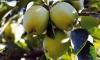 Manzanas cultivadas en las explotaciones de La Rasa. /SN