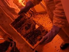 Foto 3 - Retiran en Soria un enjambre con 30.000 abejas