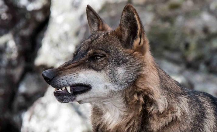 Castilla y León, Asturias, Cantabria y Galicia constituyen el Grupo de Trabajo del lobo ibérico en el Noroeste de la Península y abandonan el tutelado por el Gobierno